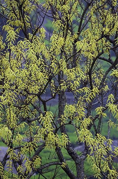 പ്രമാണം:Salix tetrasperma.jpg