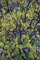 Salix tetrasperma.jpg
