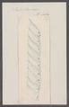 Salpa birostratus - - Print - Iconographia Zoologica - Special Collections University of Amsterdam - UBAINV0274 092 08 0052.tif