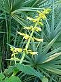 Salvia madrensis ( Scott Zona) 001.jpg