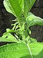 Sambong (Blumea balsamifera) auricled petioles.jpg