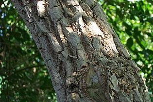 Sambucus nigra (Cortex).jpg