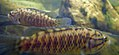 Sandelia capensis, Jan du Toit's River, b.jpg