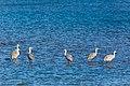 Sandhill crane (32557461480).jpg