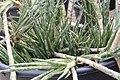 Sansevieria francisii pm.jpg