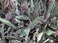Sansevieria sp. Monte Mape (5356172549).jpg