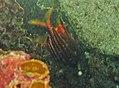 Sargocentron seychellense.jpg