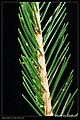Saturniidae caterpillars (5205712731).jpg
