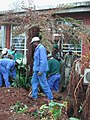 Saving a very valuable cycad prior to building extensions to the Library at the KZN Department of Agriculture 2.jpg