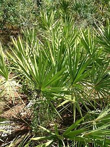 saw palmetto low testosterone