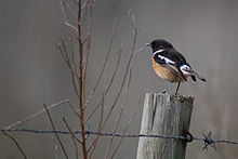 Saxicola rubicola Calls made by a European stonechat, recorded on Old Dean Common, Surrey, England