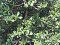 Saxifragales - Crassula ovata 2.jpg