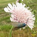 Scabious with guest (NH) (14483153567).jpg