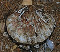 Scallop - Flickr - S. Rae.jpg