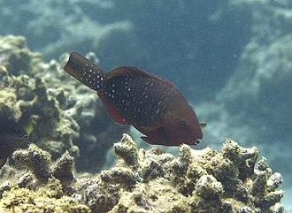 Scarus - Image: Scarus falcipinnis femelle