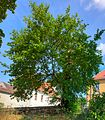 Schildau Maulbeerbaum rot Sommer1.jpg