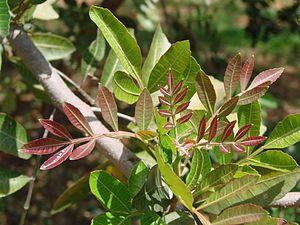 Schinus terebinthifolius - Image: Schinus terebinthifolius leaves