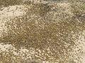 Schistocerca gregaria L4 hopper band.jpg