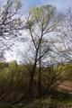 Schlitz Pford Fraurombach Breitecke NR 81455 Salix b N.png