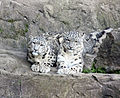 Schneeleoparden Kailash und Dshamilja frontal.jpg