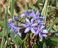 Scilla bifolia 070406a.jpg