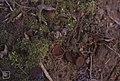 Sclerotinia tuberose opposite daffodil wood, 1978 (22843376008).jpg