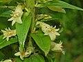 Scrophulariaceae - Digitalis lutea (8304665176).jpg