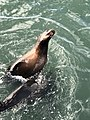 Sea Lion Barking.jpg