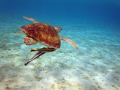 Sea Turtle with Remoras - Marsa Alam, Egypt - August 9, 2011.jpg