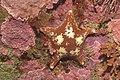 Sea star (6783309493).jpg
