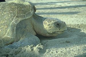 "Salt gland - Sea turtles excrete salts through tear ducts. ""Crying"" is visible when out of water."