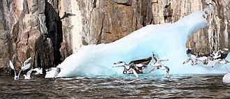 Coburg Island - Seabirds and iceberg at Coburg Island