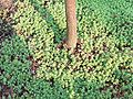 Sedum L.-roslina okrywowa.jpg