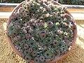 Sempervivum calcareum (Crassulaceae) plant.jpg