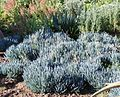 Senecio serpens groundcover South Africa.jpg