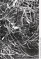 Sensitive plant species surveys, Butte District, Beaverhead and Madison Counties, Montana (1996) (20502138582).jpg