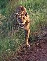 Serengeti lion JF.jpg