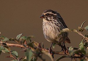 Serinus striolatus -near Mountain Lodge, Mount Kenya, Kenya-8.jpg
