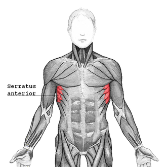 Serratus anterior muscle - Serratus anterior, showing origin from lower ribs (origin from upper ribs obscured by pectoralis major and other superficial muscles)