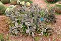 Ses Salines - Botanicactus - Opuntia microdasys 06 ies.jpg