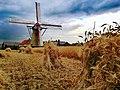 Sevensmolen Kaulille met korenveld.jpg