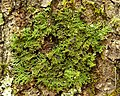 Shaggy Fringe Lichen (4503078478).jpg