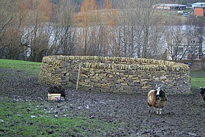 A sheep standing outside a dry stone sheepfold