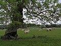 Sheep grazing near Skiplam Grange - geograph.org.uk - 180938.jpg