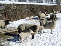 Sheep in the snow - geograph.org.uk - 131657.jpg