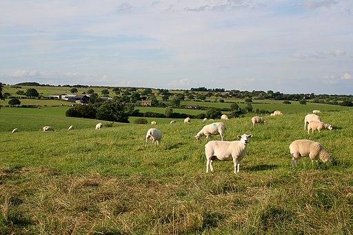 Sheep near Almscliff Crag - geograph.org.uk - 1429458