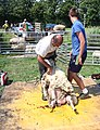 Sheep shearing Holland.jpg
