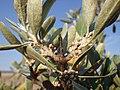 Shepherdia argentea — Matt Lavin 002.jpg