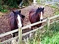 Shire Horses, Mullahead Road, Portadown. - geograph.org.uk - 565189.jpg