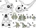 Shringasaurus skull.jpg